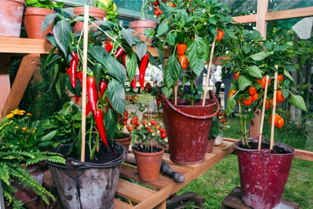 Best Container Size For Pepper Plants - Potted Peppers