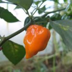 How To Grow Habaneros – Easy Guide & Instructions