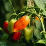 How To Stake Pepper Plants (The Right Way)