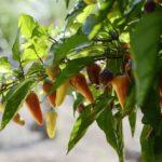 Jalapeño Plant Life Cycle – Seedling to Harvest