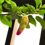 Pepper Plant Diseases and Problems