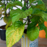 Pepper Plants Turning Yellow? Here's Everything You Need To Know