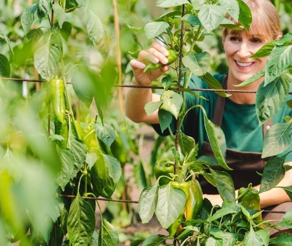 Properly staking pepper plants