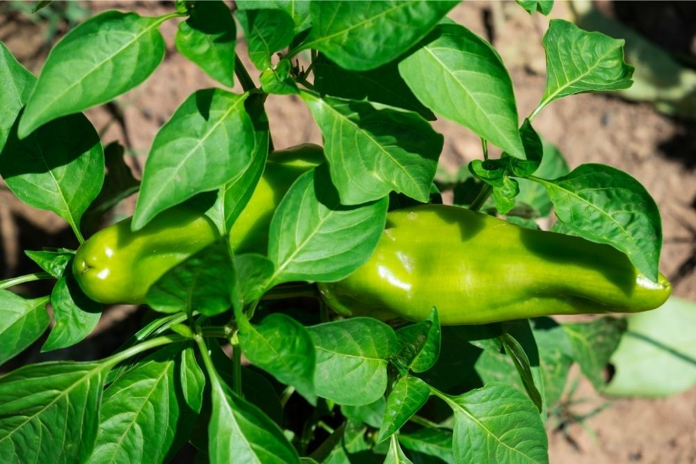 Sweet Italian Friggitello Peppers: Everything You Need to Know